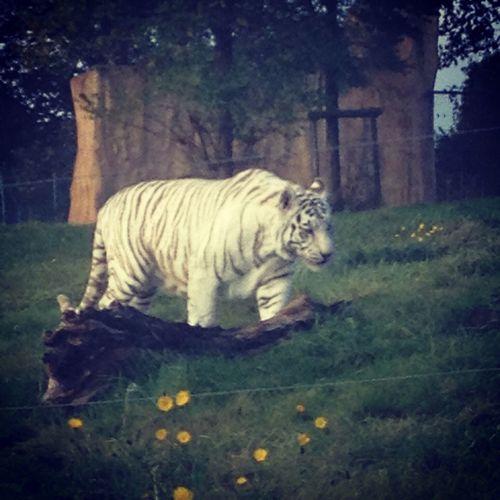Whitetiger Westmidlandssafari Animals Bigcats
