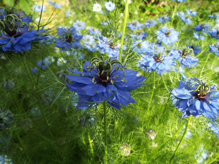 A sea of love in the mist Beauty In Nature Blue Day Flower Love In The Mist Nature Outdoors