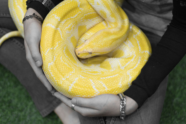 albino reticulated python Reticulated Python Sitting Snake Albino Albino Animal Blackandwhite Close-up Holding Human Body Part Human Hand Midsection One Person Python White Yellow