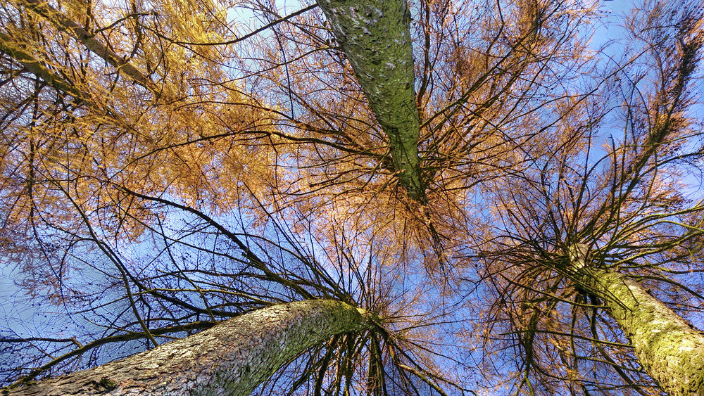 Autumn Beauty In Nature Blauer Himmel Blue Sky Branch Day Growth Herbst Larch Tree Larches Low Angle View Lärchen Nature No People Ocker Ockerfarbene Nadeln Outdoors Perspective Sunny Weitwinkelige Perspektive Wide Angle