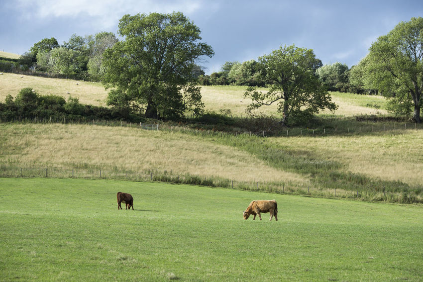 Quiet Places Animal Animal Themes Animal Wildlife Cattle Cow Domestic Animals Field Grass Grazing Group Of Animals Herbivorous Higlands Scotland Land Landscape Livestock Mammal No People Outdoors Scottish Highlands