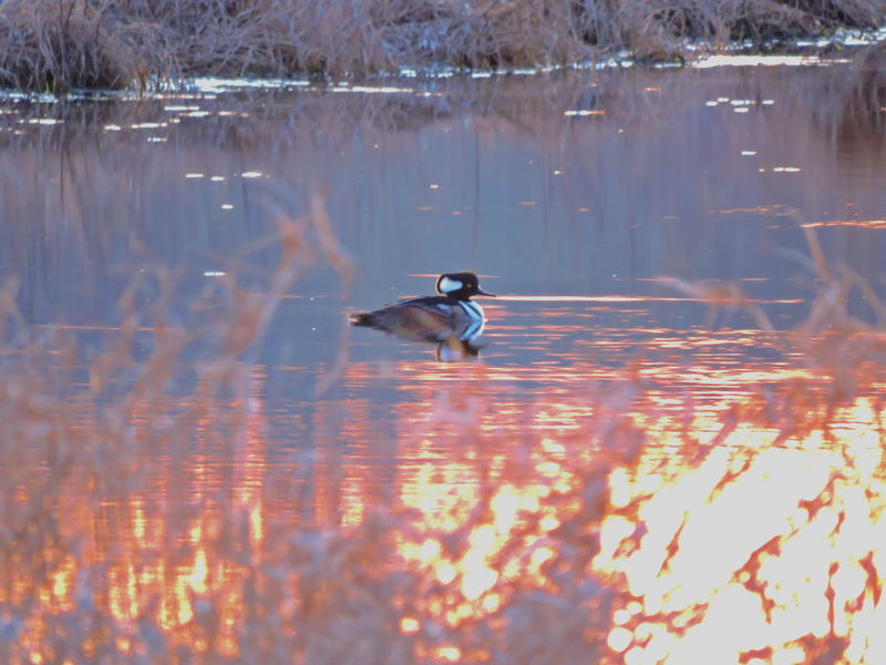 Migratory Bird Animal Themes Animal Wildlife Animals In The Wild Beauty In Nature Bird Day Duck Hooded Merganser Lake Nature No People One Animal Outdoors Reflection Swimming Water Waterfront