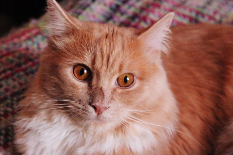 Catoftheday Red Cat Ragdoll Cat EyeEm Selects Domestic Cat Pets Domestic Animals Feline Animal Themes One Animal Mammal Animal Hair No People Whisker Kitten Close-up Looking At Camera