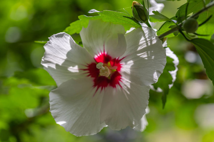White Hibiscus Beauty In Nature Close-up Day Flower Flower Head Flowering Plant Focus On Foreground Fragility Freshness Growth Hibiscus Inflorescence Nature No People Outdoors Petal Plant Pollen Purity Vulnerability