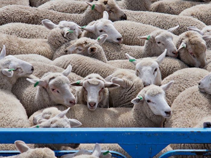 Herd of sheep at farm