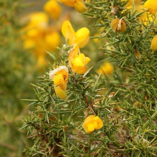 I have some nice flowers in my garden :) Blodyn Flower Melyn Yellow Gwanwyn Spring Nofilter 3/3 Notthebestpicture Cymru Wales Nikon