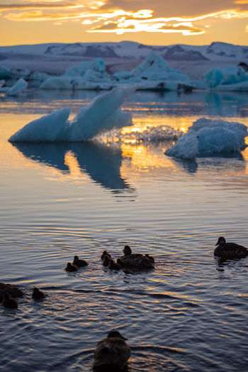 Ducks Swimming at Jokulsarlon Glacier Lagoon in Iceland. Ice Jökulsárlón Swimming Animal Animal Themes Animal Wildlife Animals In The Wild Beauty In Nature Cold Temperature Ducks Floating On Water Gracier Group Of Animals Jökulsárlón Glaciar Lagoon Lagoon Lake Pool Sky Sunset Swimming Tranquility Water Waterfront