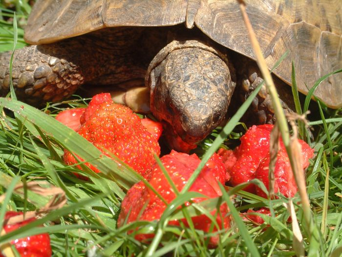 Close-Up Of Tortoise Eating Strawberries