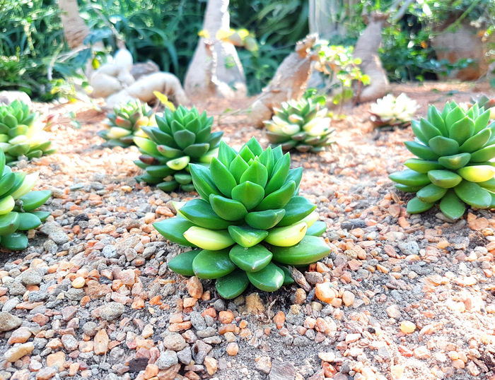 High angle view of succulent plant on field