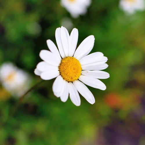 Daisy Flower Wildflowers Beauty In Nature Daisys Trent Park North London Outdoor Photography Great Outdoors Nikon Photographer