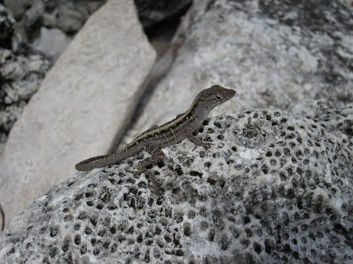 Animals In The Wild Florida Keys Big Pine Key Beauty In Nature Nature Coral Coral Rock Lizard Photography Lizard Sunbathing Lizard On A Rock