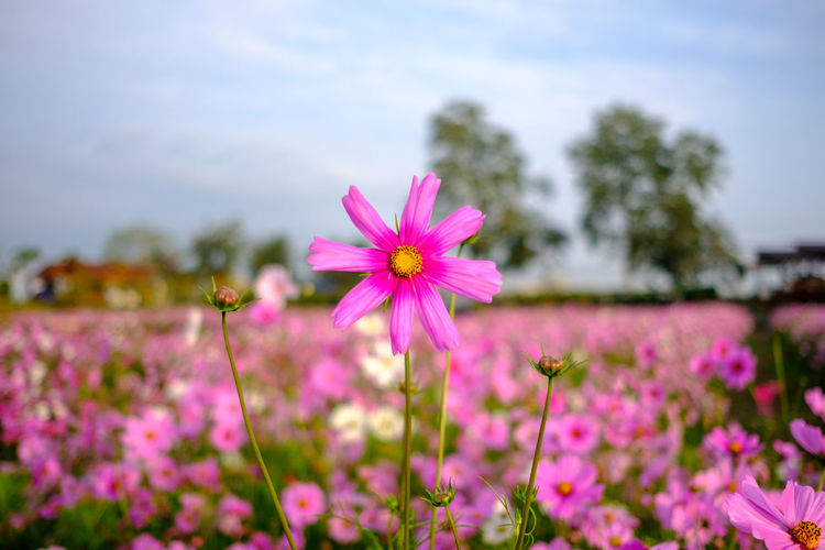 Close-up of pink cosmos flowers blooming against sky