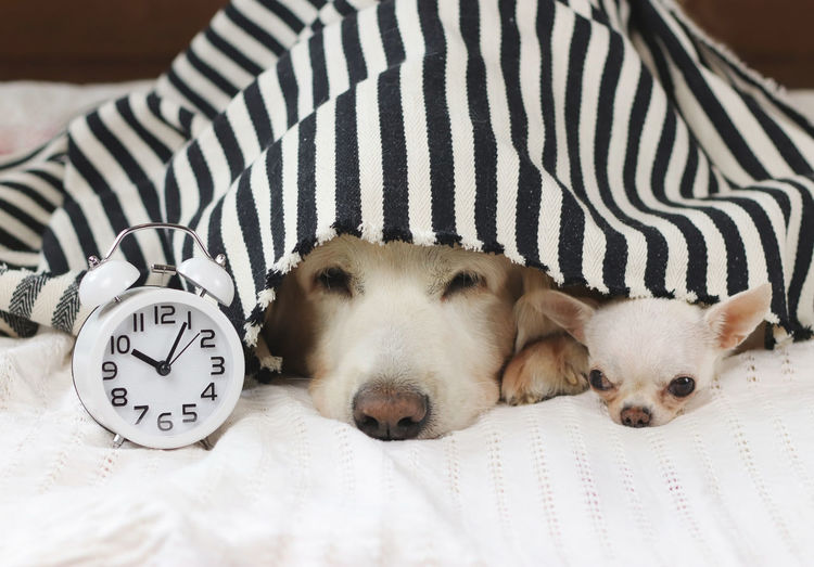 Close-up portrait of dogs by alarm clock on bed at home