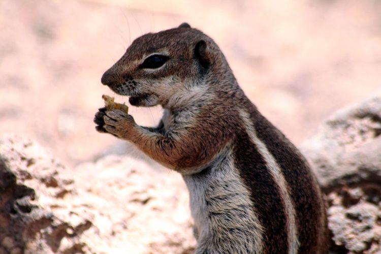 Close-Up Of Chipmunk Feeding On Field