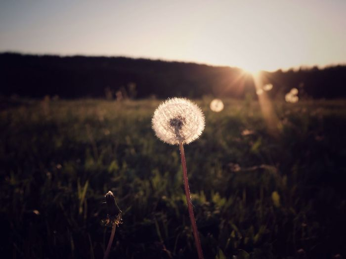 Dandelion sun EyeEm Best Shots EyeEm Nature Lover Glowing Nature Spring Summer Beauty Lens Flare Plant Growth Field Beauty In Nature Nature Flower Land Fragility Flowering Plant Focus On Foreground Tranquility Sunlight No People Dandelion