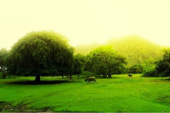 Tree Green Color Grass Nature Growth No People Beauty In Nature Landscape Social Issues Animal Themes Horizontal Grazing Domestic Animals Sky Outdoors Sun Flock Of Sheep Day Lush - Description Mammal