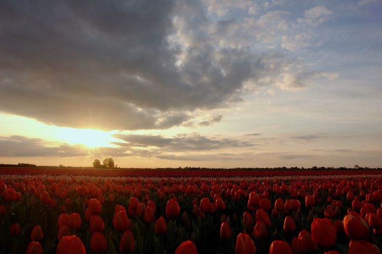 Tulpenfeld in Holland Landscape Sky Beauty In Nature Field Farm Sunlight Nature Plant Sunset Cloud - Sky Idyllic Tulpe Nederland Tulip Netherlands Springtime Decadence