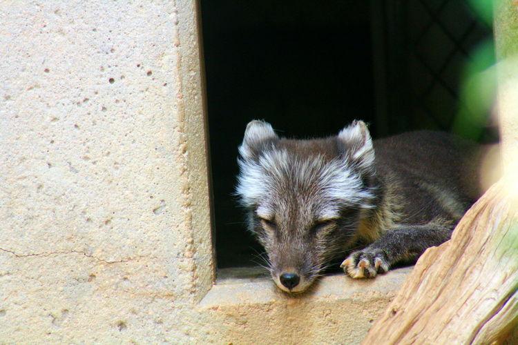 Close-up of arctic fox pup sleeping on window in zoo