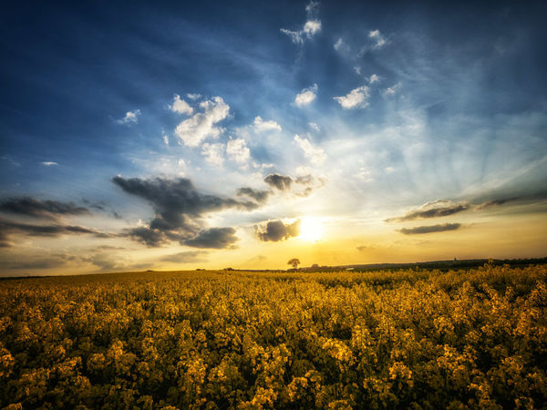 A sunset in spring. Agriculture Beauty In Nature Crop  Evening Evening Sky Field Fragility Freshness Growth Landscape Nature No People Outdoors Plant Rural Scene Scenics Sky Sunset Tranquil Scene Tranquility Yellow The Great Outdoors