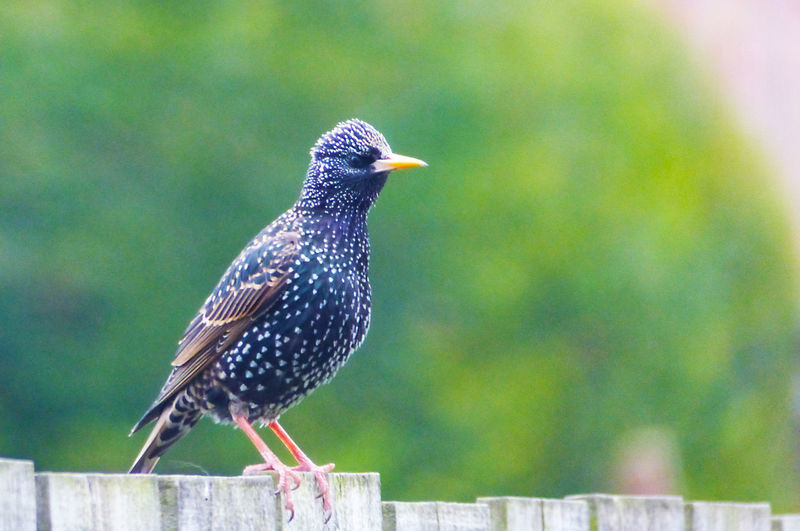 Close-up of starling bird perching on wood