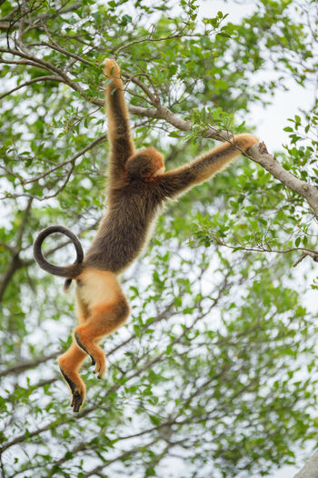 golden monkey Animal Wildlife Animals In The Wild Branch Climbing Day Full Length Golden Monkey Hung Low Angle View Mammal Nature No People One Animal Outdoors Tree