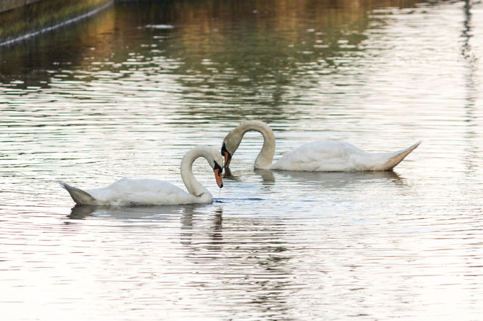 Swans in love Animal Avian Beauty In Nature Beekse Bergen Bird Couple Day Duo Lake Love Nature No People Outdoors Rippled Swan Tranquil Scene Tranquility Water Water Bird Waterfront Wildlife