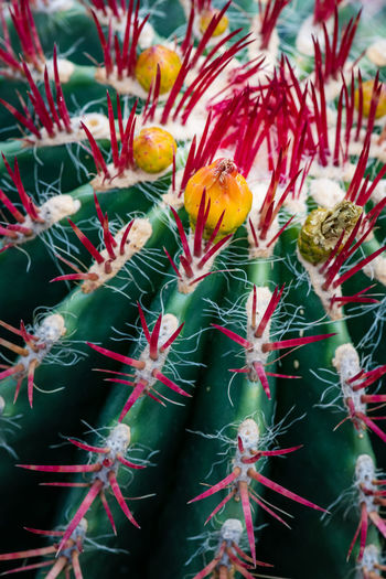 Green Color Beauty In Nature Botany Cactus Close-up Day Flower Flower Head Flowering Plant Focus On Foreground Fragility Freshness Growth Inflorescence Macro Nature No People Outdoors Petal Plant Pollen Springtime Succulent Plant Thorns Vulnerability
