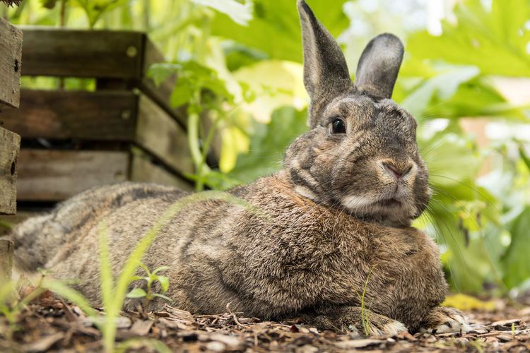 Small adorable gray rabbit rests in the garden Animal Themes Animal Wildlife Animals In The Wild Bunny  Bunny Rabbit Close-up Day Domestic Animals Focus On Foreground Garden Garden Rabbit Mammal Nature No People One Animal Outdoors Portrait Rabbit