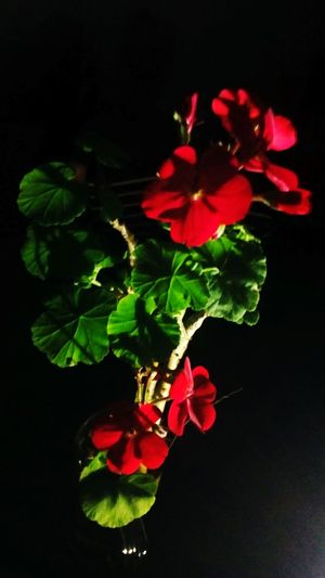 Geranium Flower Head Black Background Flower Red Beauty Close-up Plant In Bloom Plant Life