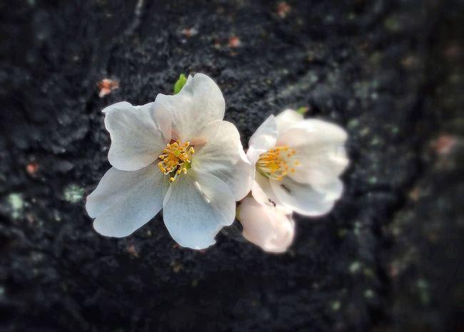 Spring 桜 神田川