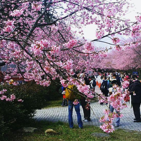 櫻花盛開、滿滿的粉紅佳人😙😘😚 Sakura Taiwan Cherry Blossoms Spring Flowers Spring