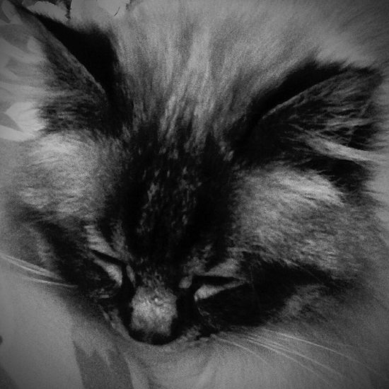 Cat Sleeping Feline Birmancats Birman Cat