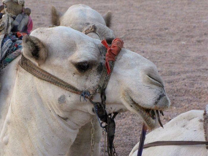 верблюд Camel египет Egipet