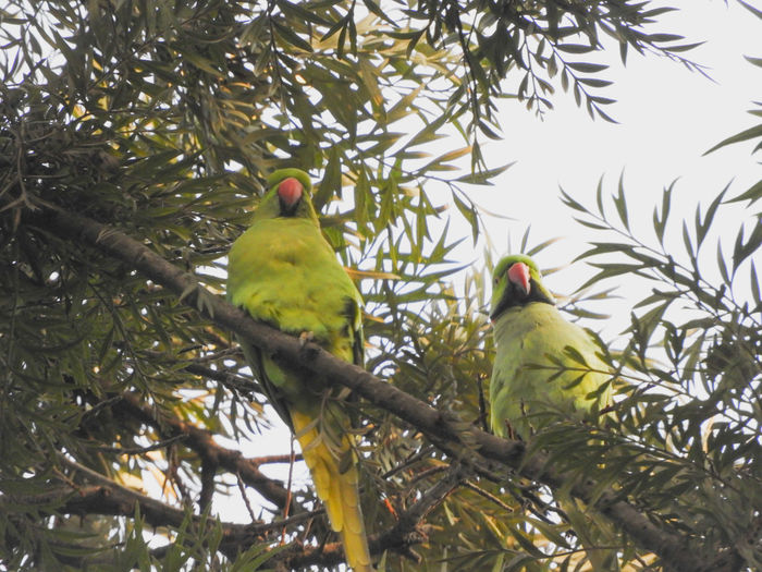 Couple Males  Females Rose Ringed Parakeets Beak Branch Wings Perched Indian Sitting Green Color Outdoors Parakeet Tail Bird Perching Tree Parrot Branch Tree Area Animal Neck