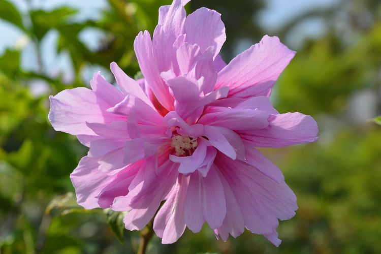 "Hibiscus syriacus ""Ardens"", Rose of Sharon. Flower Petal Nature Fragility Beauty In Nature Flower Head Focus On Foreground Growth Pink Color Outdoors No People Freshness Day Close-up Plant Stamen Blooming Springtime Hibiscus Hibiscus Syriacus Rose Of Sharon Rose Mallow"