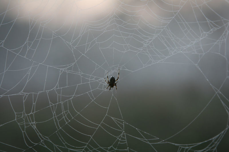 Close-up of a spider making an orb web