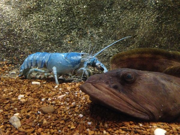 Blue lobster in water Animal Animal Themes Beauty In Nature Blue Lobster Close-up Day Ground Lobster Nature No People Outdoors Rock Rock - Object Zoology