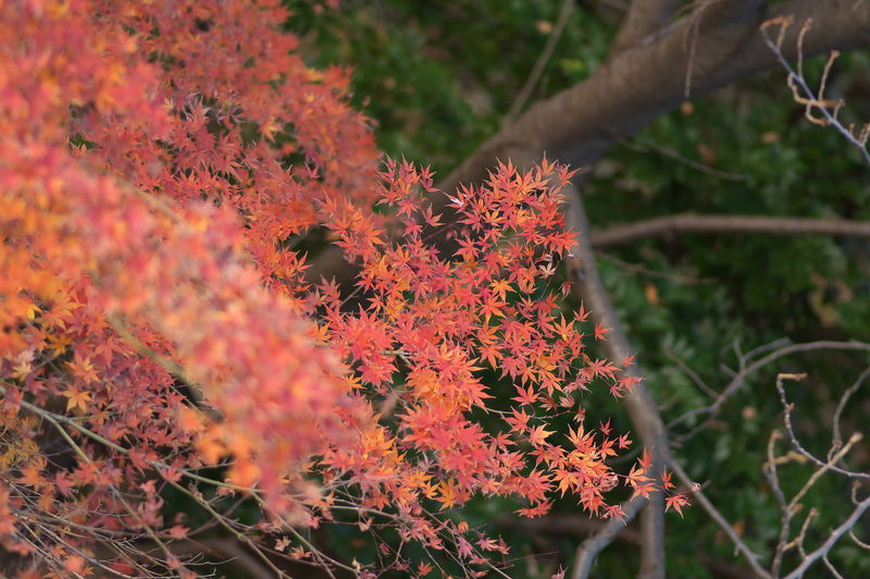 Winter in Japan. Plant Growth Beauty In Nature Close-up Orange Color Nature Autumn Day Selective Focus No People Change Fragility Focus On Foreground Vulnerability  Freshness Outdoors Plant Part Leaf Red Flowering Plant Maple Leaf Natural Condition
