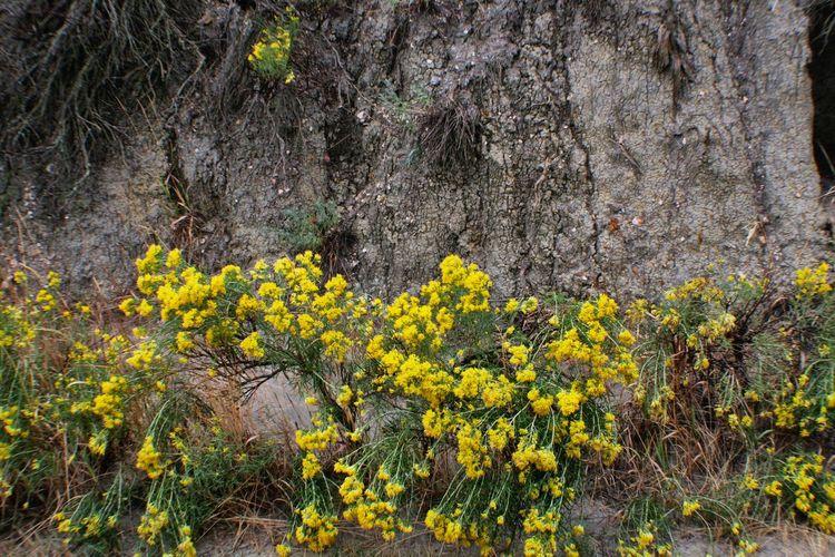 Yellow Wildflowers against Grey Clay Theodore Roosevelt National Park North Dakota Badlands Wildflowers Yellow Flowers