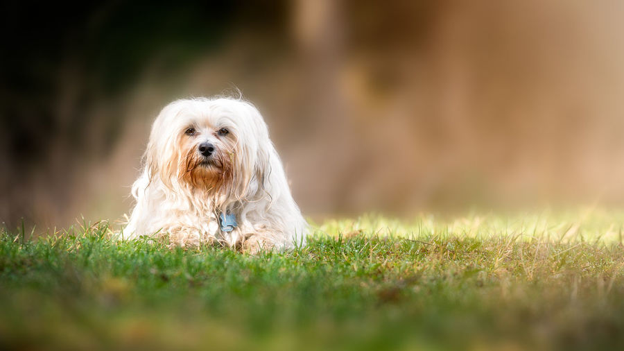 Animal Animal Themes Canine Day Dog Domestic Domestic Animals Grass Lap Dog Mammal Nature No People One Animal Pets Plant Portrait Purebred Dog Selective Focus Shih Tzu Small