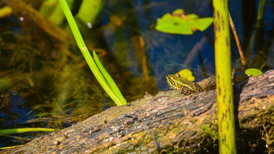 Frog gin' Frog