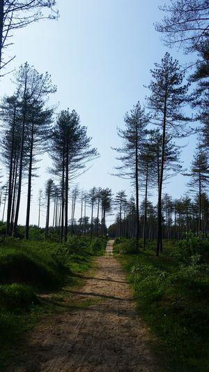Pine Trees Pine Woodland Pine Trees Against The Sky Bluesky Wood Paths