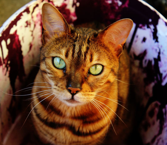 Animal Themes Brown Cats 🐱 Close-up Domestic Animals Domestic Cat Feline Focused Furry Green Eyes Harry Hypnotize Me Indoors  No People One Animal Paint Pets Portrait