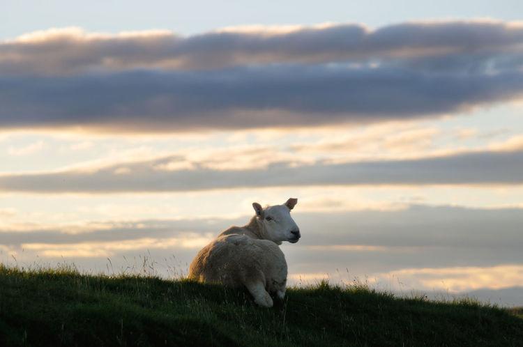 Sheep in a field at dawn on the Isle of Skye Animal Themes Cloud - Sky Dawn Farming Field Grass Grassy Highlands Morning Outdoors Scotland Sheep Sky Skye Wool