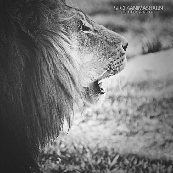 King of the jungle . Eyeembestbw Southafrica Lion Sholaanimashaun