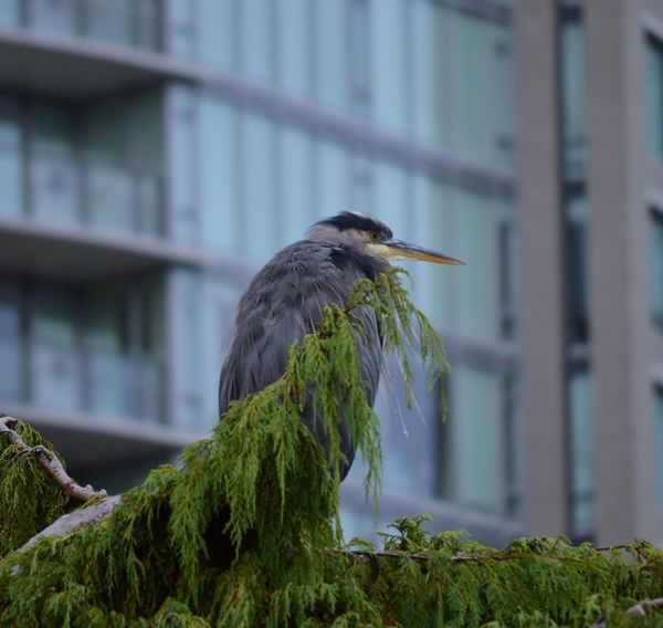 The Perching Heron Vancouver Animal Themes Animal Wildlife Animals In The Wild Bird British Columbia Close-up Day Focus On Foreground Gray Heron Great Blue Heron Green Color Heron Nature No People One Animal Outdoors Perching Plant Tree Vancouver BC EyeEmNewHere