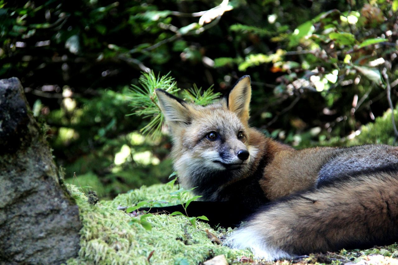 Fox Lying On Field At Saguenay Fjord National Park