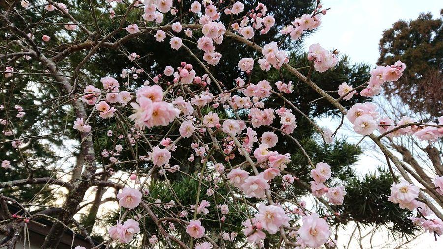 梅の花 Sky 梅の花