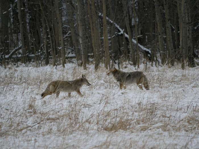 Western Coyote Animal Themes Animal Wildlife Animals In The Wild Cold Temperature Coyote Day Forest Mammal Nature No People Outdoors Snow Stag Tree Winter
