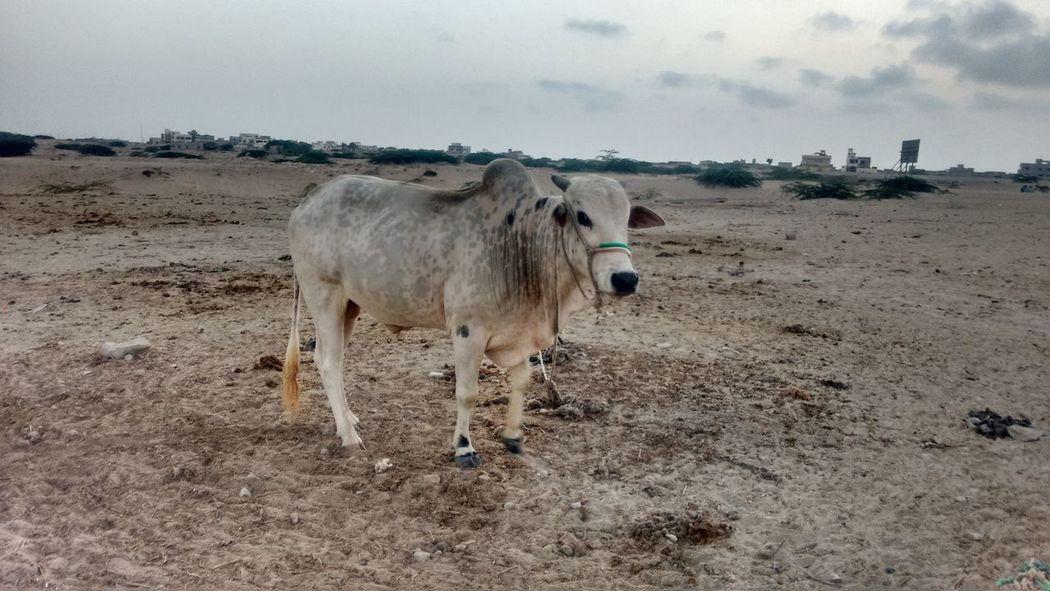 Livestock Animal Cow Eiduladha